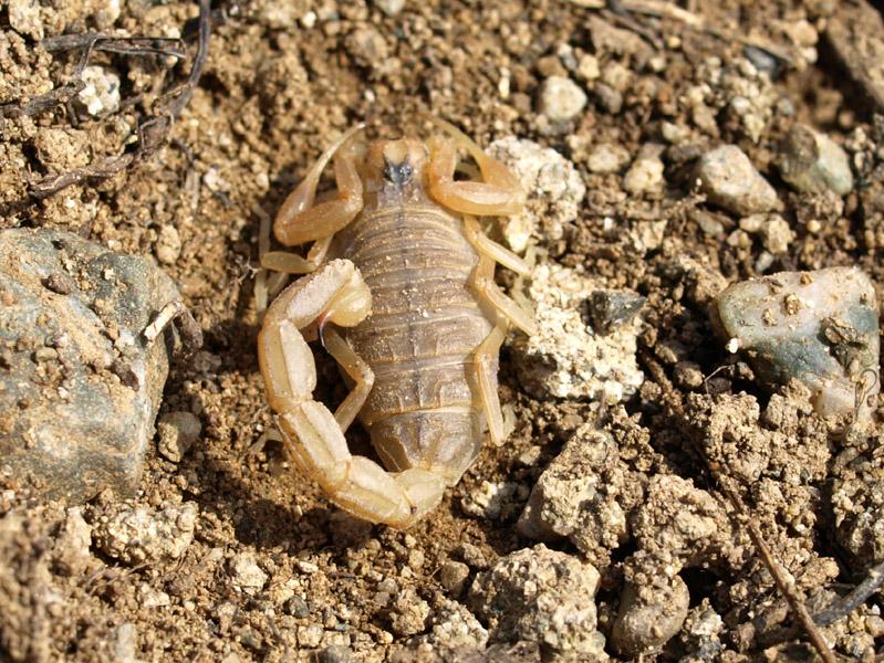 Buthus occitanus NFA Blava 060409 (213) ret