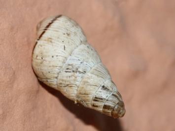 Cochlicella barbara